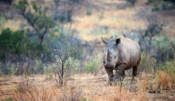 rinoceros blanc