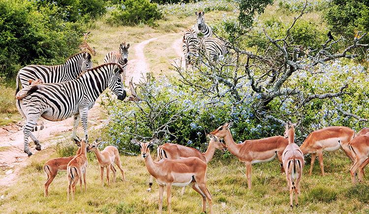 zebres et antilopes