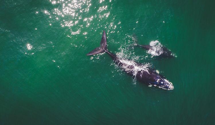 baleine franche australe et son baleineau