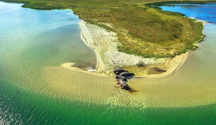 hippopotames sur une rive de l estuaire de St Lucia