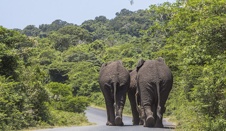 elephant de St Lucia