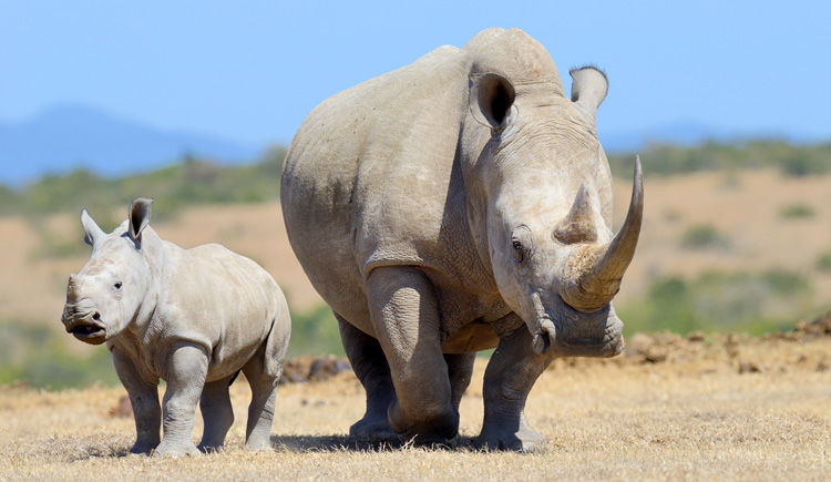 rhinoceros blanc