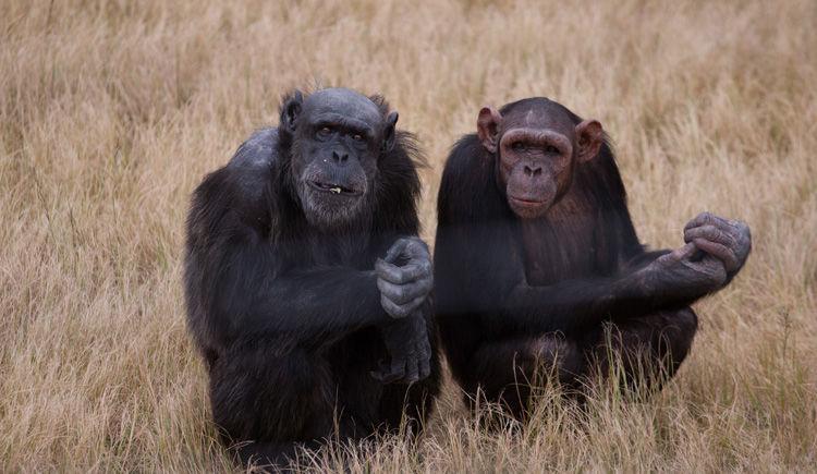 chimpanzes du Jane Goodall Institute
