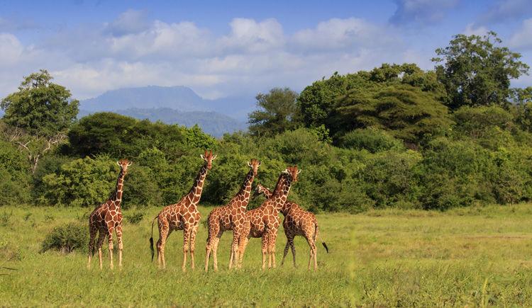 girafe Rothschild