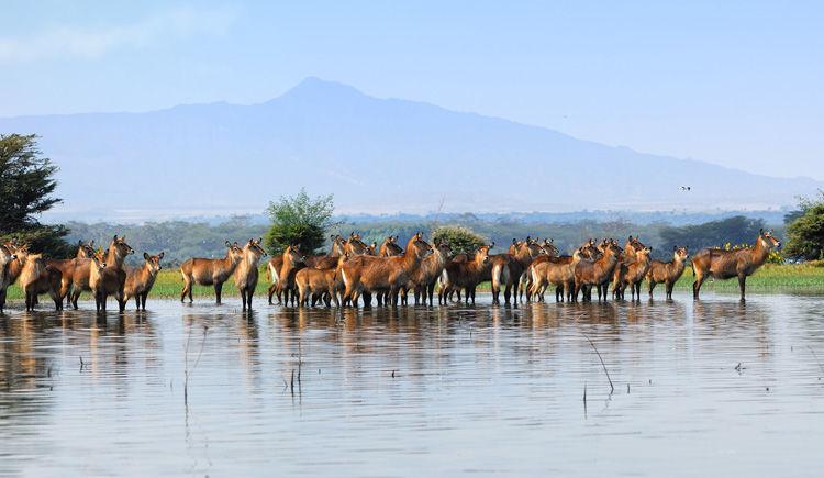 antilope du Lac Naivasha