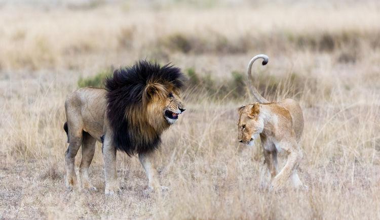 lion a criniere noir