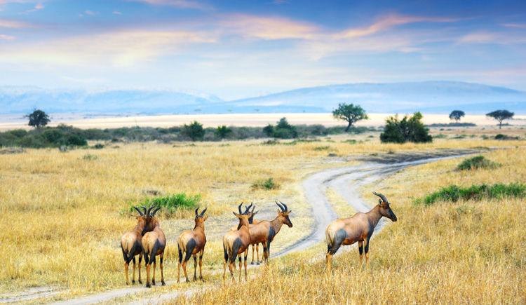 antilope topis
