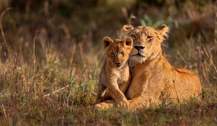 une lionne et son petit