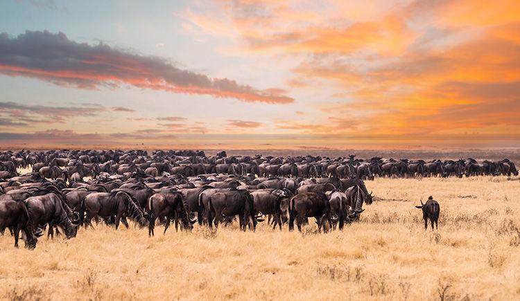 troupeau de gnous dans la Parc du Serengeti
