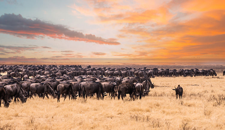 gnou du Parc Serengeti