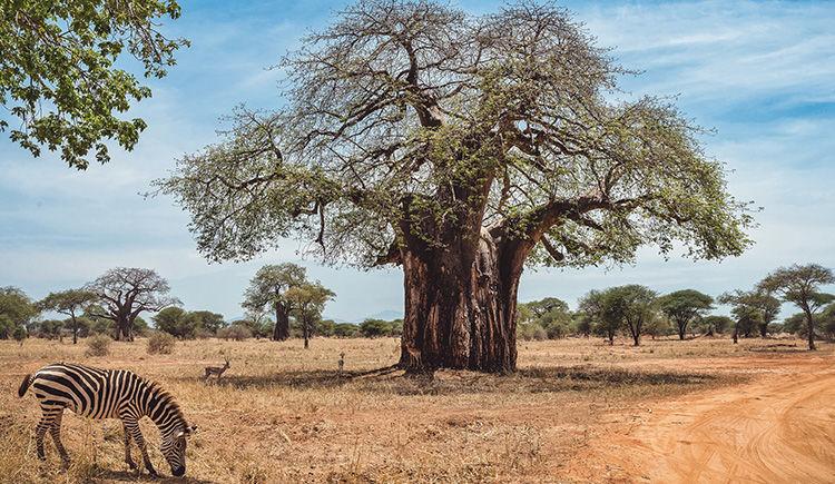 Merveilles tanzaniennes : du Tarangire au Serengeti