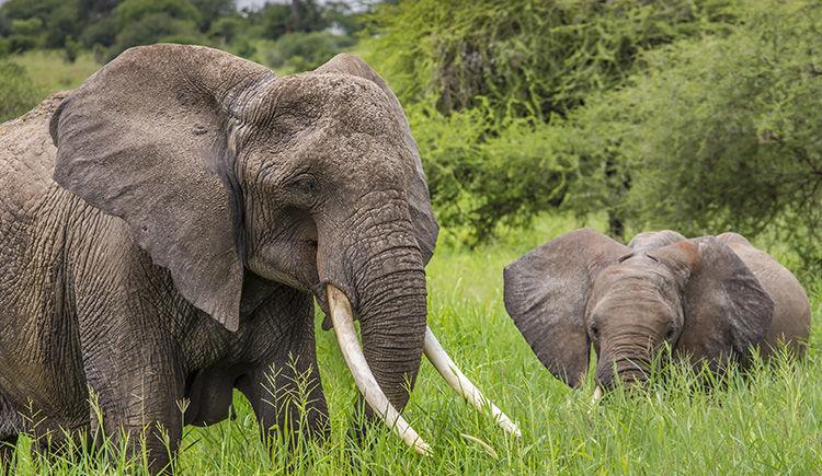 elephants du Parc Tarangire