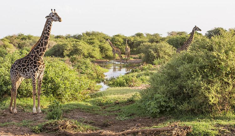 girafe dau lac Manyara