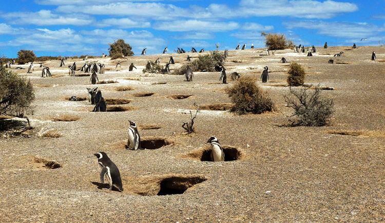 Punta Tombo pinguinera