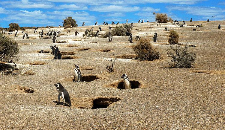 les manchot de Punta Tombo