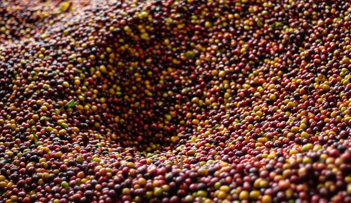 Panoramas Colombiens - Catégorie Charme  recolte de cafe