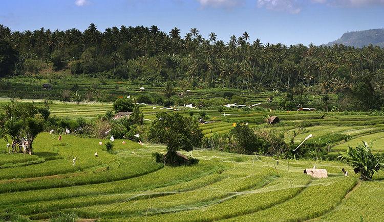riziere du village Tenganan