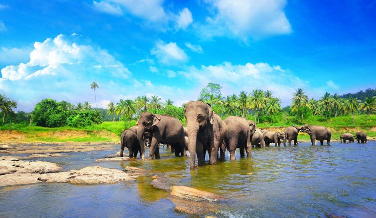 Pinnawala orphelinay elephants