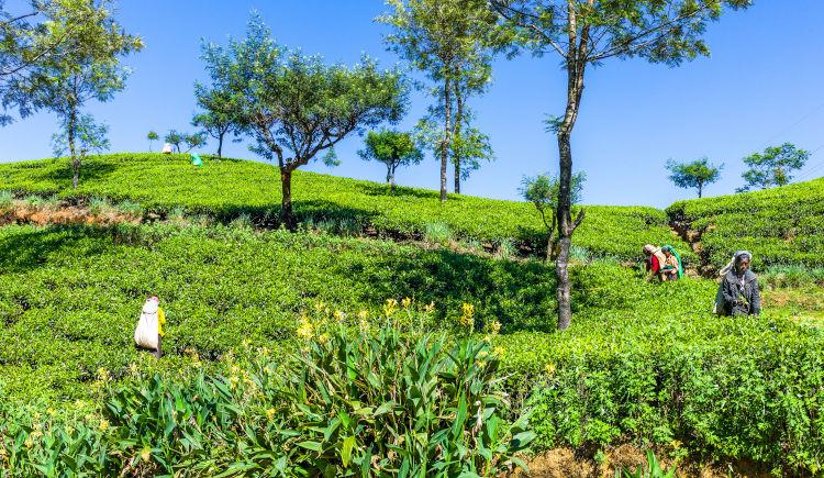 Ramboda plantation de the