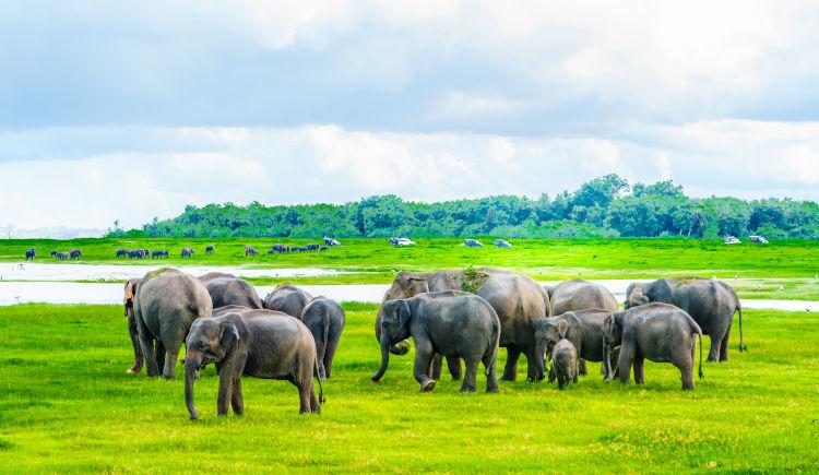 Kaudulla elephants