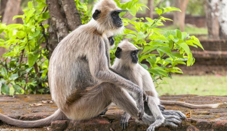 Polonnaruwa animaux