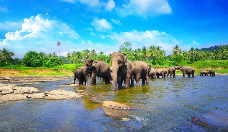 orphelinat des elephants a Pinnawela