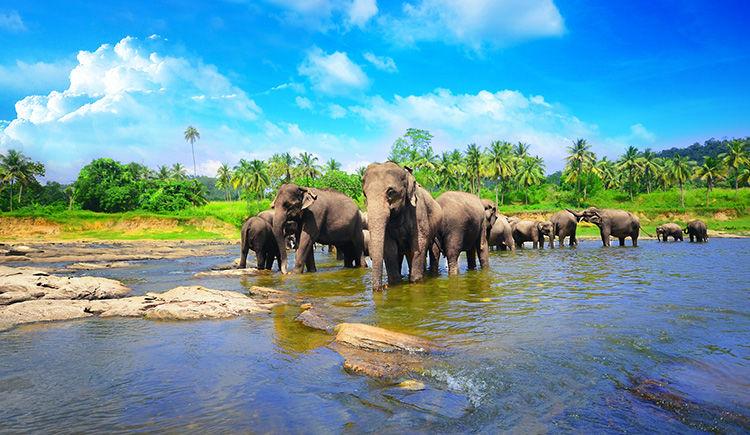 orphelinat des elephants de Pinnawala