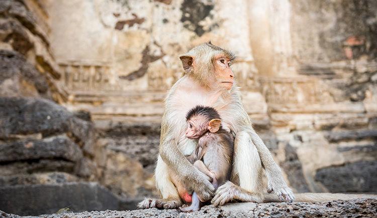 singes de Lopburi