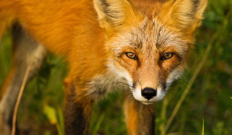 faune Yukon