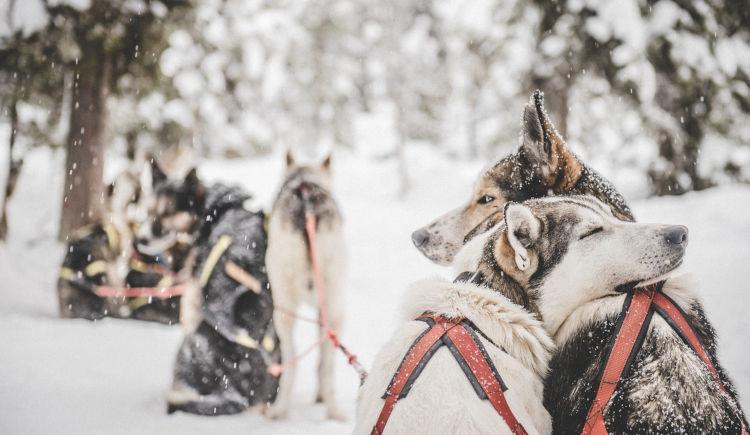 chiens de neige