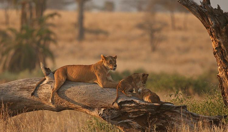 lions du Parc Kruger