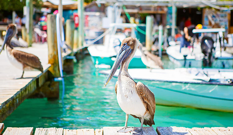 pelican de Key West