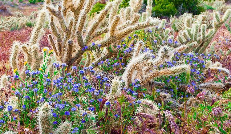 les fleurs sauvage du desert Anza Borrego